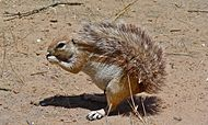 Ground Squirrel (Xerus inauris) (6492762723).jpg