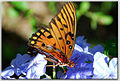 Gulf Fritillary Butterfly on Blue Plumbago.jpg