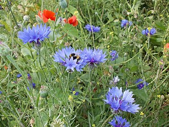 Gunnersbury Triangle - Bumblebee in Gunnersbury Triangle's wildflower demonstration meadow planted with cornflowers and poppies