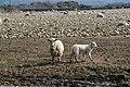 Gwledd i ddefaid ac wyn - A feast for sheep and lambs - geograph.org.uk - 378686.jpg