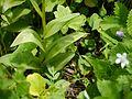 Gymnadenia orchidis (7821656274).jpg