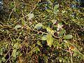 Gymnosporia rothiana (6660446289).jpg