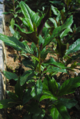 Gynura bicolor vegetable (hongfeng cai 紅鳳菜).png