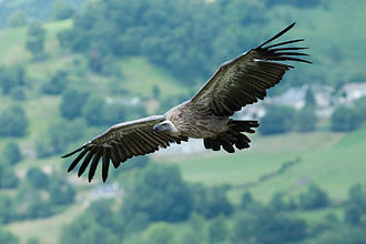 Bird of prey - Griffon vulture
