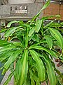 HK Mid-Levels 63G Bonham Road 學林雅軒 Hilary Court big leaves planter Apr-2013.JPG