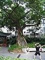 HK Sheung Wan Hollywood Road Park evening Banyan tree visitors Sept-2012.JPG