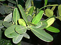 HK Tree Leaves Garcinia 1a.jpg
