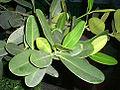 HK Tree Leaves Garcinia 1a.jpg