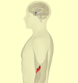 HPA-axis - lateral view.png