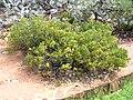 Hakea flabellifolia.jpg
