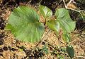 Haldina cordifolia 01.JPG
