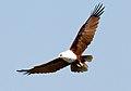 Haliastur indus -Karratha, Pilbara, Western Australia, Australia -flying-8 (6).jpg
