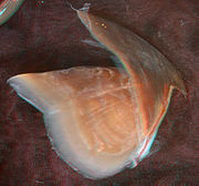 Haliphron atlanticus upper beak (side view).jpg