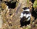 Halsbandsflugsnappare Collared Flycatcher (14540952413).jpg