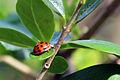 Harlequin ladybird (Harmonia axyridis).jpg