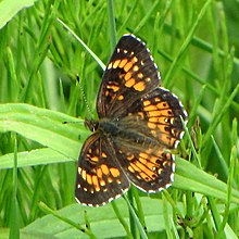 Harris's Checkerspot.jpg