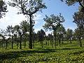 Harrison Malayalam Tea Garden Munnar 115458.jpg