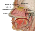 Head Olfactory Nerve Labeled bn.png