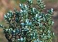 Hebe pinguifolia.jpg