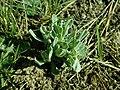 Helichrysum arenarium 2019-03-30 8637.jpg