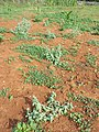 Heliotropium europaeum sl42.jpg