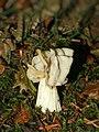 Helvella crispa (fruiting body).jpg