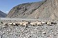 Herd of chyangras, Mustang, Nepal.jpg