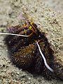Hermit Crab (6851472842).jpg