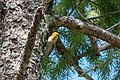 Hermit Warbler (immature) Rd to Pinery Campgrd Portal AZ 2019-08-14 10-13-15 (48595206177).jpg