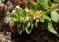 Herniaria glabra kz12.jpg