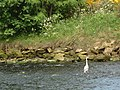 Heron on River Nairn - geograph.org.uk - 184826.jpg