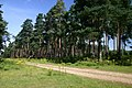 High Wrong Corner, Thetford Forest - geograph.org.uk - 514451.jpg