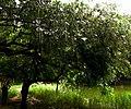 Hijal tree,national botanical garden Bangladesh.jpg