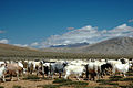Himalayan Herd (7941423960).jpg