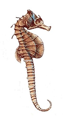 Hippocampus breviceps.jpg