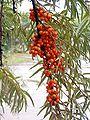 Hippophae rhamnoides4 beentree bialowieza.jpg
