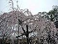 Hirano Shrine 平野神社 - panoramio (1).jpg