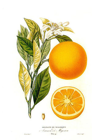 Orange oil - Citrus sinensis (L.) Histoire et culture des orangers A. Risso et A. Poiteau. - Paris Henri Plon, Editeur, 1872