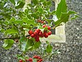 Holly (Ilex aquifolium) - geograph.org.uk - 1576604.jpg