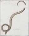 Homalopsis (Coluber) schneideri - 1734-1765 - Print - Iconographia Zoologica - Special Collections University of Amsterdam - UBA01 IZ12000201.tif