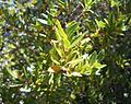 Horizontal leaf detail Anodopetalum biglandulosum.JPG