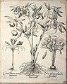 Hortus Eystettensis, 1640 (BHL 45339 384) - Classis Autumnalis 44.jpg