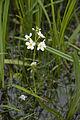 Hottonia palustris cahon 80 21052007 1.jpg