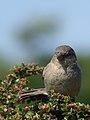 House Sparrow (1).jpg