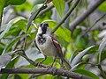 House sparrow 003.jpg