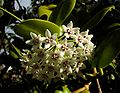 Hoya australis tonga.jpg