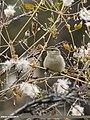 Hume's Warbler (Phylloscopus humei) (38741459335).jpg