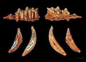 Henri Filhol - Image: Hyaenodon Filholi MHNT PAL 2013 0 1013 1 3 Filhol Caylus Oligocène