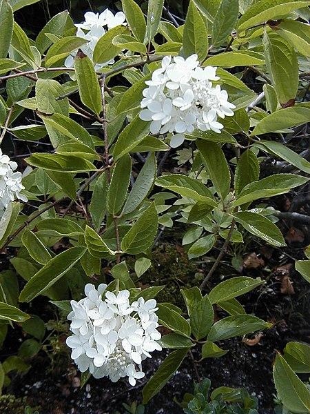 Ficheiro:Hydrangea heteromalla 'Bretschneideri'.jpg