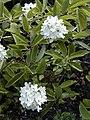 Hydrangea heteromalla 'Bretschneideri'.jpg